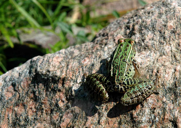 Leopard Frog (Rana pipiens), unambiguous spokesman for clear, clean water . .  .
